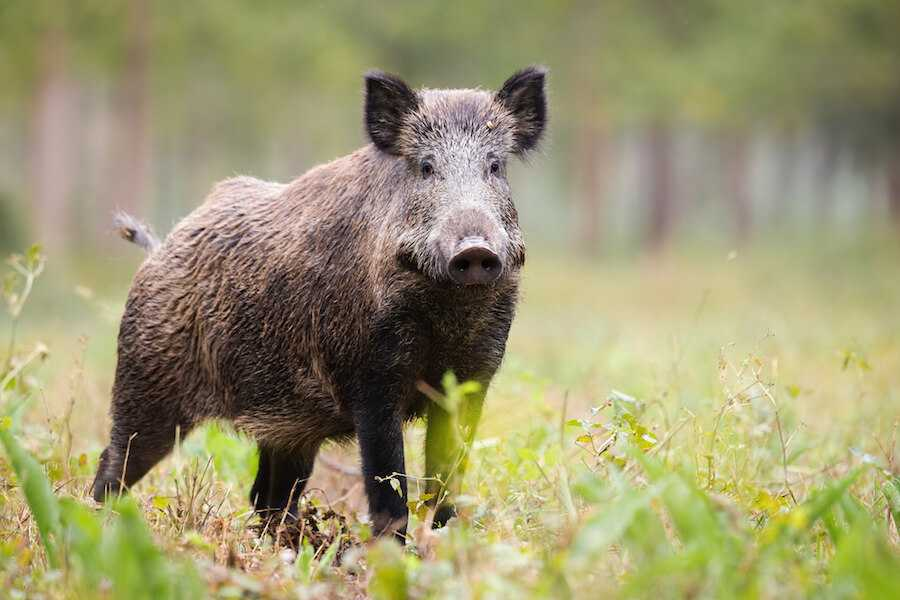 A photo of a wild pig on the alert in a grassy field